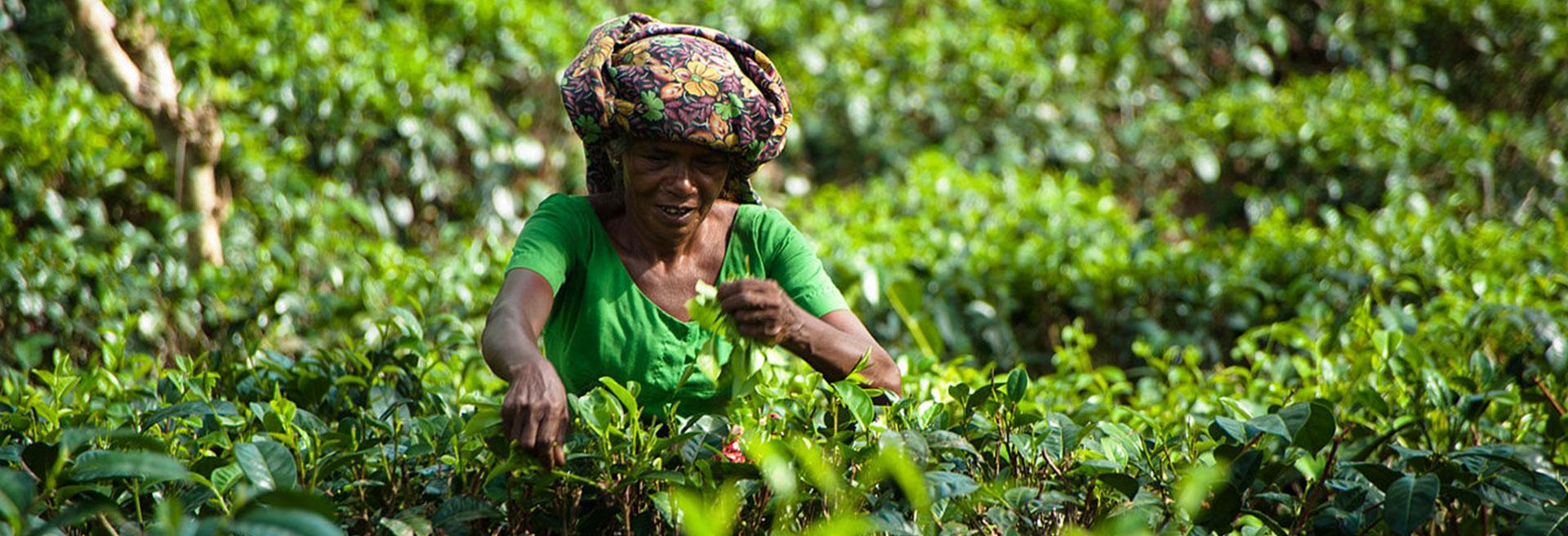 lady plucking tea leaves