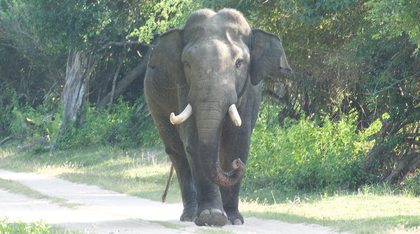 Sando - Sri Lankan Elephant