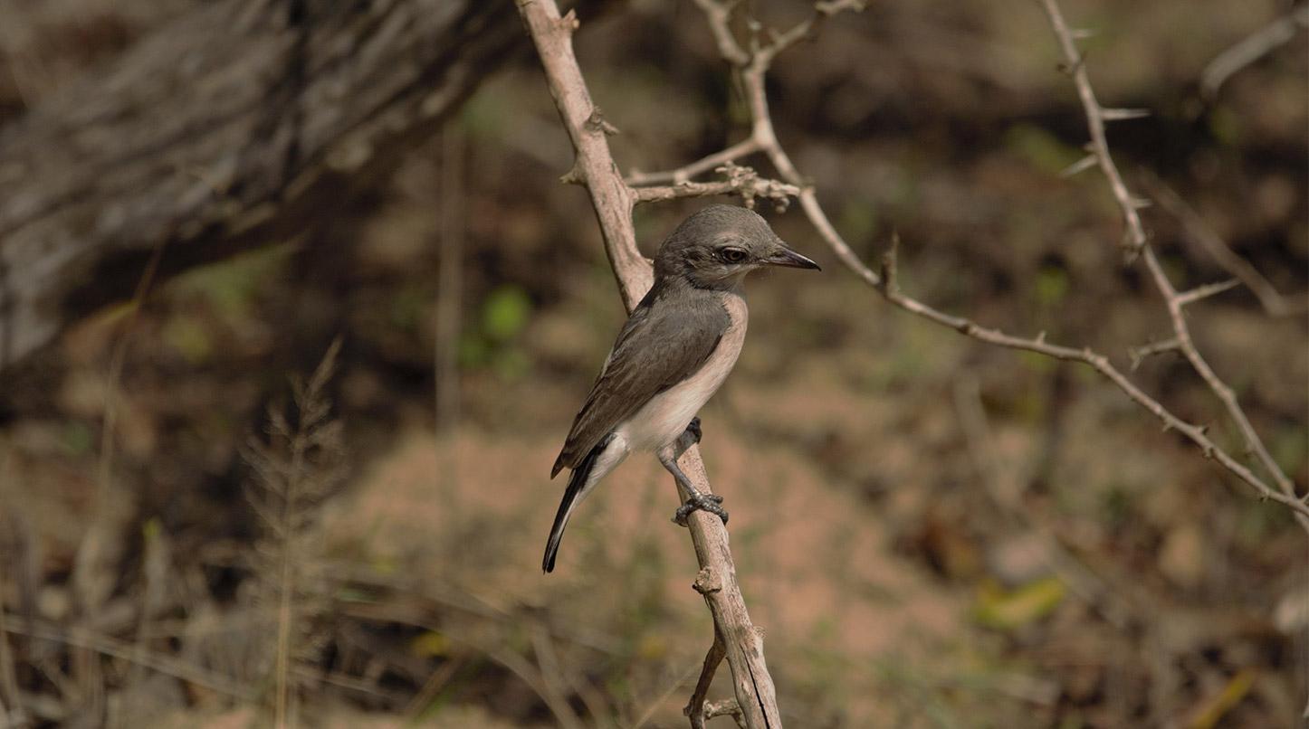 Sri Lanka Wood-shrike