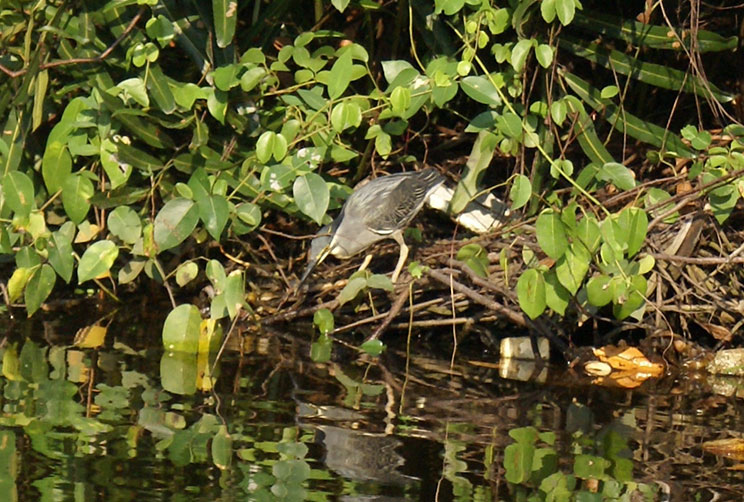 Duck by the mangroves