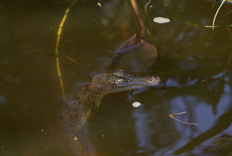 baby crocodile in the river