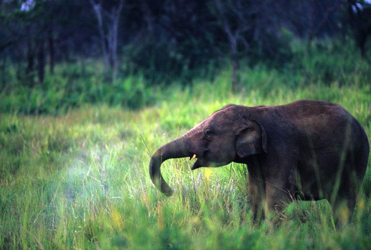 Wilpattu Elephant Calf